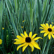 Black Eyed Susan And Tall Grass Poster