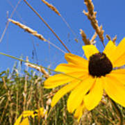 Black-eyed Susan With Grass Poster