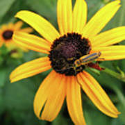 Black-eyed Susan With Soldier Beetle  Poster
