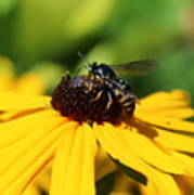 Black Eyed Susan With Wasp Poster