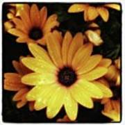 Black Eyed Susans. Looks Like They're Poster