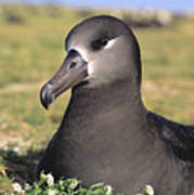 Black Footed Albatross Poster