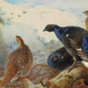 Black Grouse And Gamebirds By Thorburn Poster