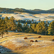 Black Hills Bison Before Sunset Poster