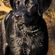 Black Labrador Retriever Dog Poster