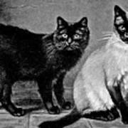 Black Manx And Siamese Cats Poster
