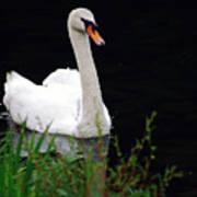 Black Mountain Swan Poster