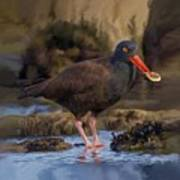 Black Oyster Catcher Poster