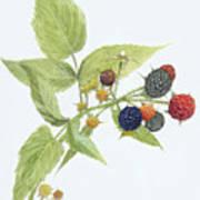 Black Raspberries Poster by Scott Bennett