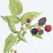 Black Raspberries Poster