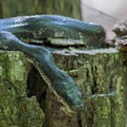 Black Rat Snake Poster