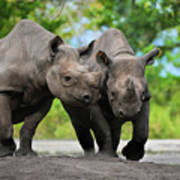 Black Rhinoceroses Poster