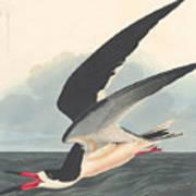 Black Skimmer Poster