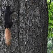 Black Squirrel With Blond Tail Two  Poster