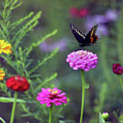 Black Swallowtail Butterfly In August  Poster