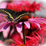 Black Swallowtail Butterfly With Coneflower And Monarda Poster