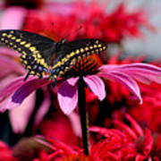 Black Swallowtail Butterfly With Coneflowers And Bee Balm Poster