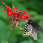 Black Swallowtail On Bee Balm Poster