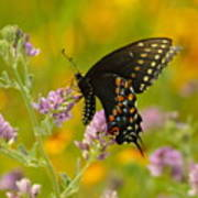 Black Swallowtail Poster by Robert Frederick
