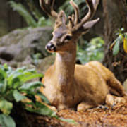 Black-tailed Deer Poster