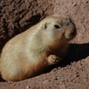 Black Tailed Prairie Dog Climbing Out Of A Hole Poster