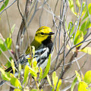 Black-throated Green Warbler Poster