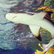 Black Tipped Reef Shark-1 Poster