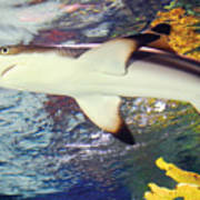 Black Tipped Reef Shark Poster