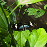 Black Tropical Butterfly Poster