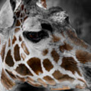 Black  White And Color Giraffe Poster