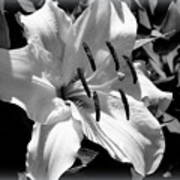 Black White Lilly Poster by Kip Krause