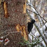 Black Woodpecker Peek Poster