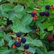 Blackberries 1 Poster