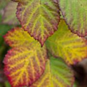 Blackberry Autumn Poster