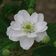 Blackberry Blossom Poster