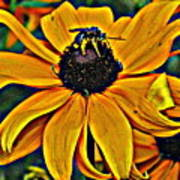 Blackeyed Susan With Bee Poster