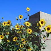 Blackeyed Susans And Adobe Poster