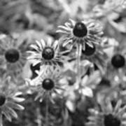 Blackeyed Susans In Black And White Poster