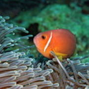 Blackfoot Anemonefish Hosted In A Magnificent Sea Anemone Poster