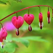 Bleeding Hearts - Lamprocapnos-spectabilis Poster