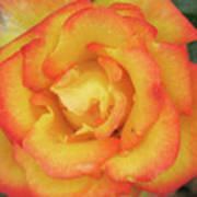 Blood Orange Rose Poster