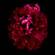 Blood Red Peony Poster