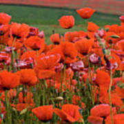 Bloom Red Poppy Field Poster