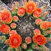 Blooming Barrel Cactus Poster