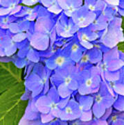 Blooming Blue Hydrangea Poster