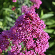 Blooming Brilliant Pink Phlox Flowers In A Garden Poster