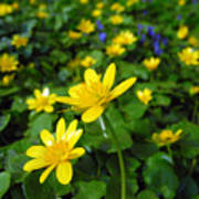 Blooming Buttercups. Poster