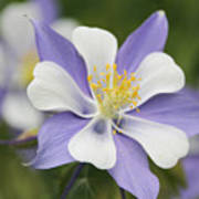 Blooming Columbine Poster