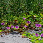 Blooming Cross Vines Along The Beach Poster