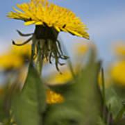 Blooming Dandelion Flower Poster